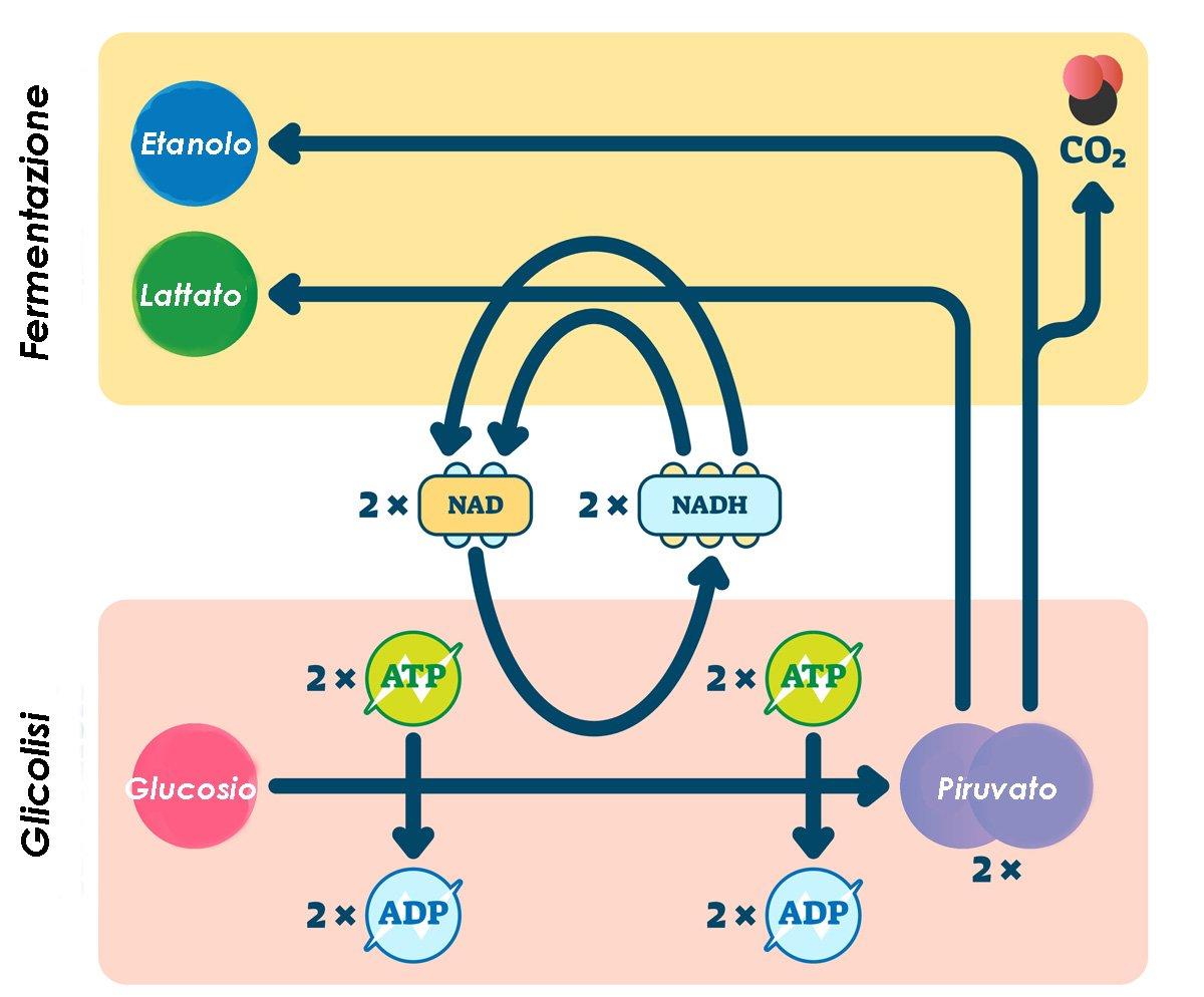 acido lattico e ipertrofia muscolare
